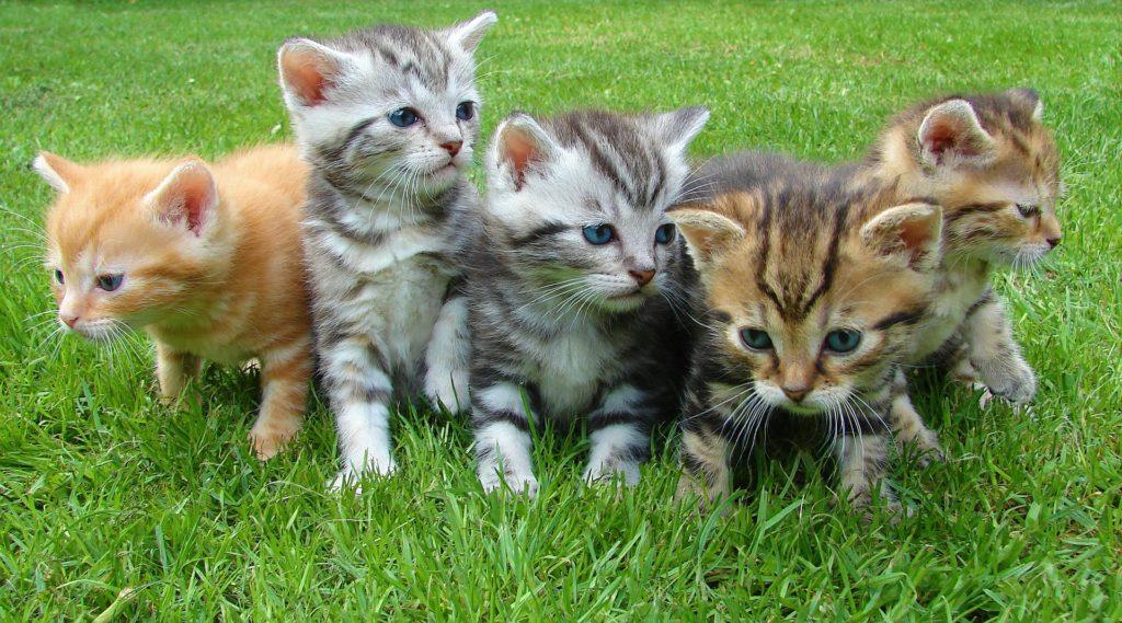 Montrer les différentes races de chats